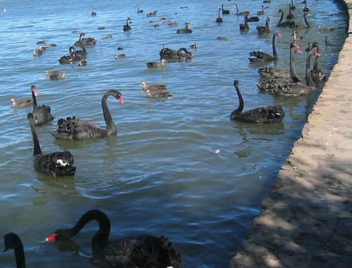 Black Swans and Pacific Black Ducks East Basin Lake Burley Griffin Canberra by Celcom, GFDL or CC-BY-SA-3.0, from Wikimedia Commons
