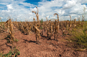 Corn shows the affect of drought in Texas on Aug. 20, 2013. USDA photo by Bob Nichols. U.S. Department of Agriculture. Attribution 2.0 Generic (CC BY 2.0)